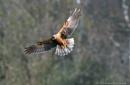 Marsh Harrier by kojak