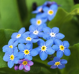 Forget Me Not - Myosotis Latifolia