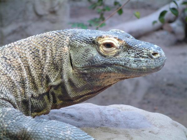 Komodo Dragon 1 by Grandfather47