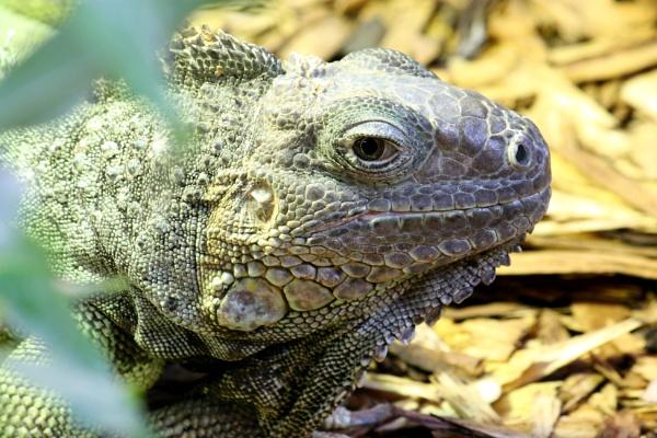Iguana by Grandfather47