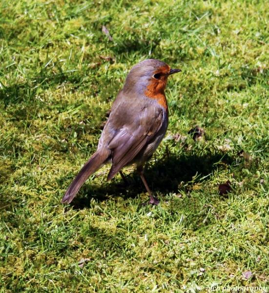 Robin enjoying the sunshine by shell68
