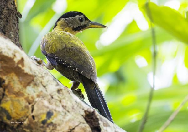 Laced Woodpecker Female by Pari56