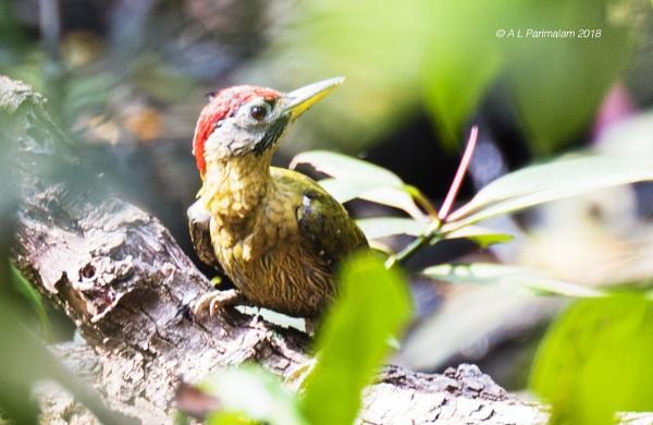 Laced Woodpecker Male by Pari56