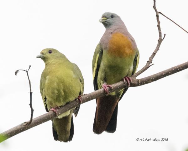 Little Green Pigeons by Pari56