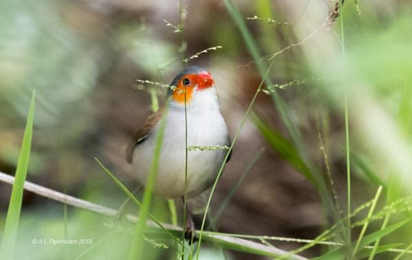 Common Waxbill by Pari56