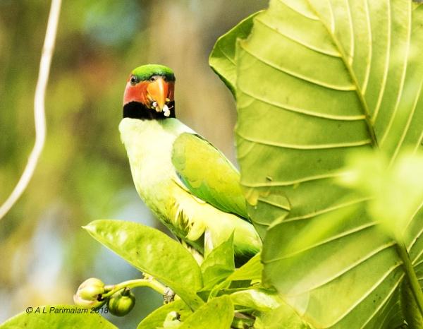 Long tailed Parakeet by Pari56
