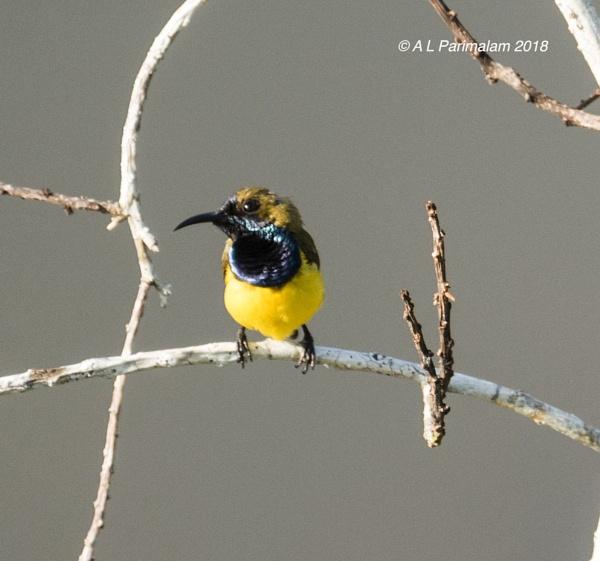 Olive back sunbird male by Pari56