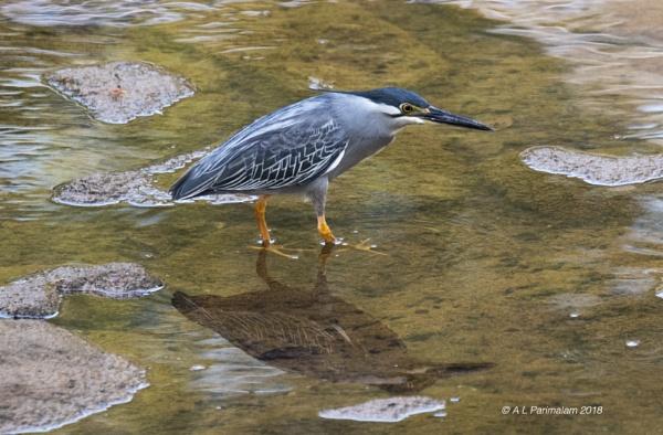Striated Heron by Pari56