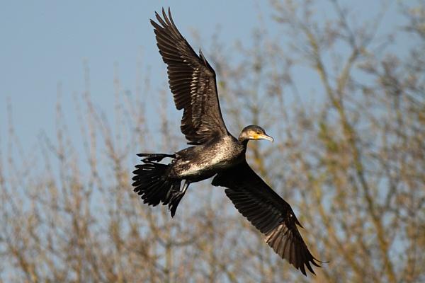 Cormorant-Phalacrocorax aristotelis by bobpaige1