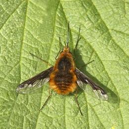 Bee-fly -Bombylius major