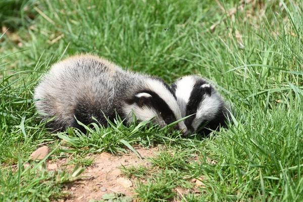 Badger Cubs.