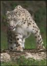 Snow leopard by rickie