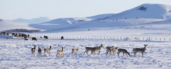 Slim  pickings amongst the cattle by waltknox