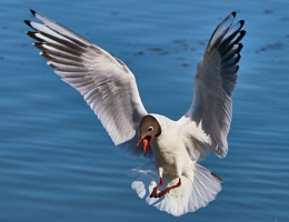Black - Headed Gull