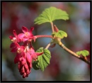 Ribes Sanguineum by canoncarol
