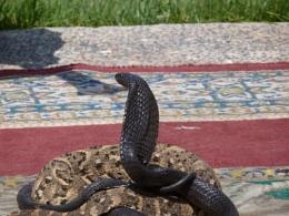 Cobra & Python seen in Agadir, Morrocco