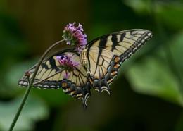 Eastern Tiger Swallowtail Feeding In My Garden