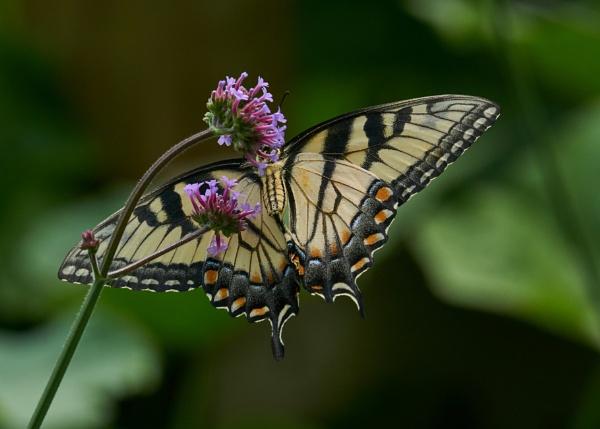 Eastern Tiger Swallowtail Feeding In My Garden by JEDPdCWi