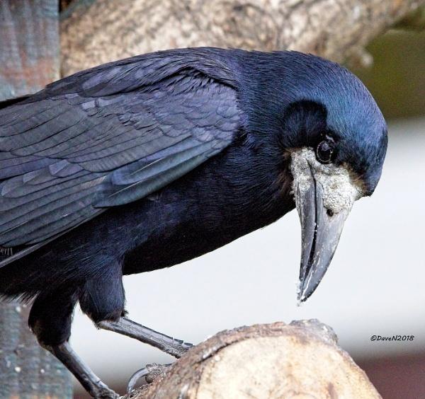 The Rook ( Corvus frugilegus ) by DaveNewbury