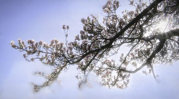 Magnolia by nbmezzo