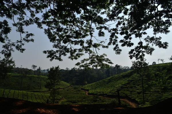 Tea Plantation in Kerala by aliathik