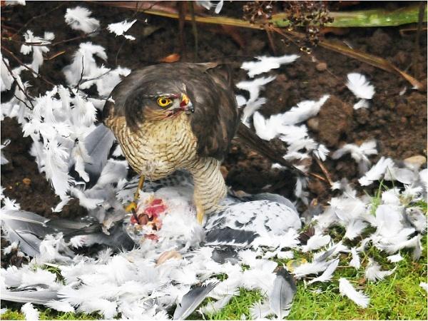 Sparrowhawk by dven