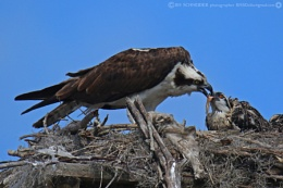 Osprey with baby