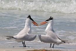 Royal Terns and Fish