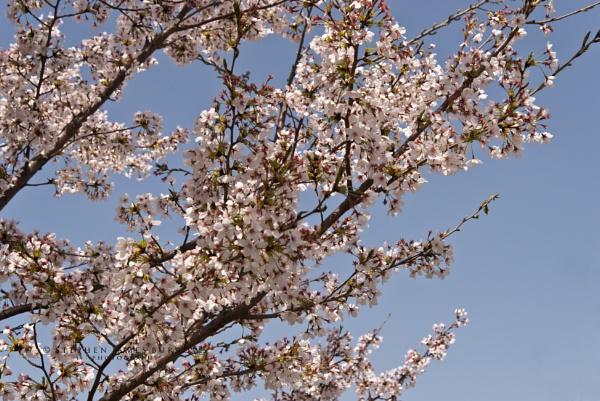 Kyoto Cherry Blossom by Stephen_B
