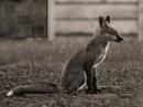 fox flag by jackieo