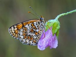 Knapweed Fritillary - Melitaea phoebe