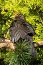 Blackbird sunbathing by oldgreyheron