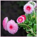 Bellis Daisy by Sylviwhalley