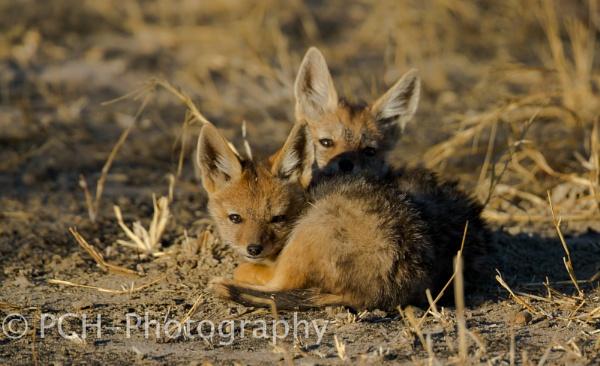 Jackel Pups by P_Higham