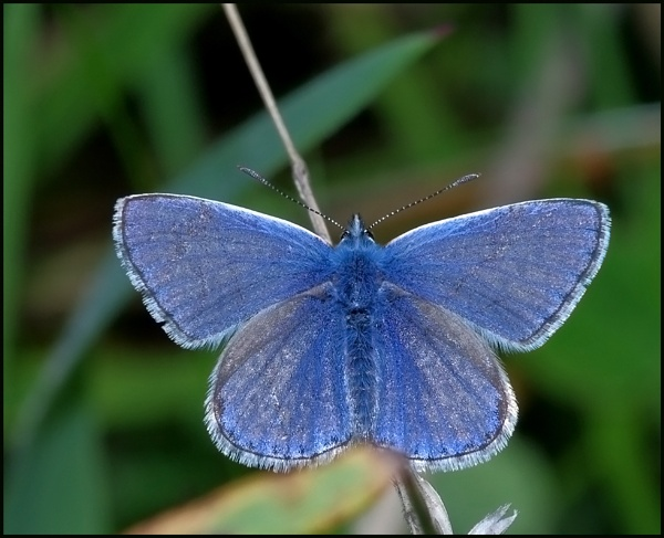Common Blue(m) - Basking..