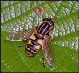 Sun Fly-Heliophilus pendulas..
