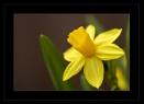 Mini daffodils by r0nn1e