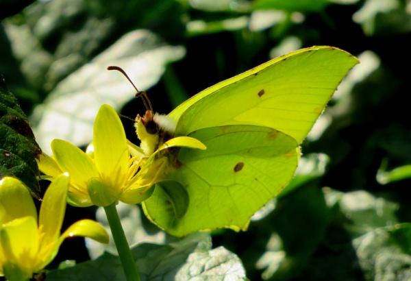 Brimstone Butterfly by SUE118