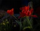 Tulips in my Garden by Daisymaye