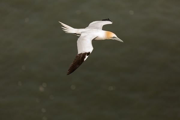 Gannet in flight by rontear