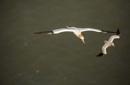 Gannet Pair Bempton by rontear