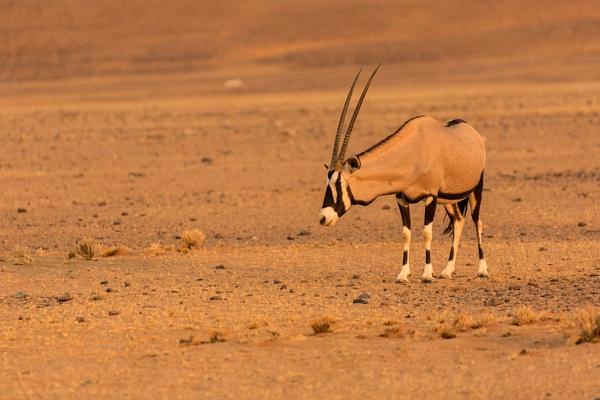 Gemsbok Namibia. by rontear
