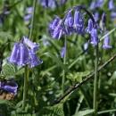 Group of Bluebells Flowering in Wepham Wood