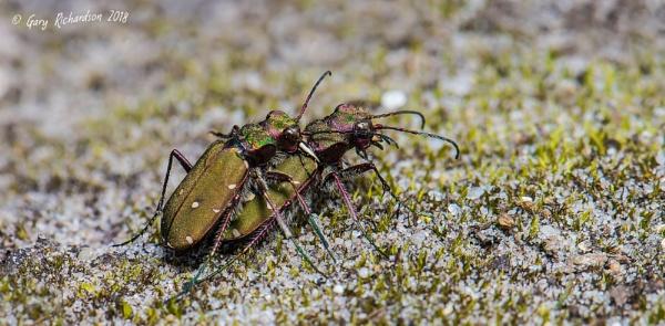 cicindela campestris - green tiger beetle by dj_gary