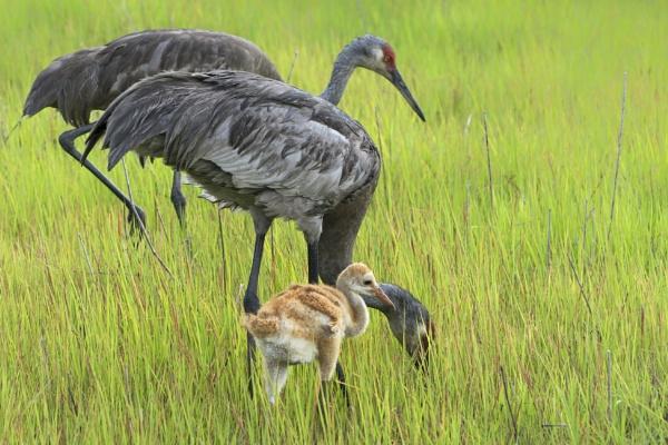 Sandhill crane family by jbsaladino
