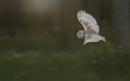 Barn Owl -  CAPTIVE subject by philhomer