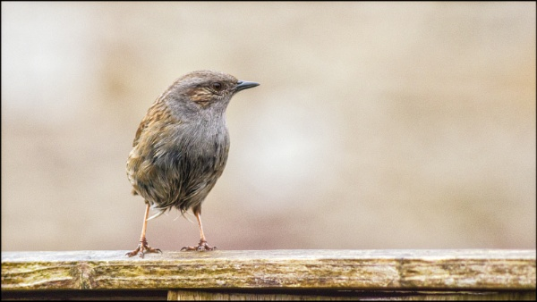 Dunnock by Kilmas