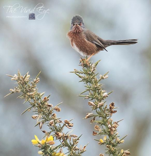 Dartford Warbler by MartinWait