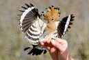 Hoopoe by orts