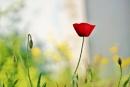 Spring poppy image. by georgiepoolie